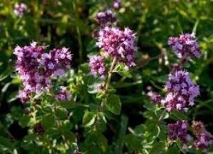 Материнка або «орегано»: рекомендації по використанню трави