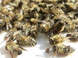 Бавовняний мед корисні властивості