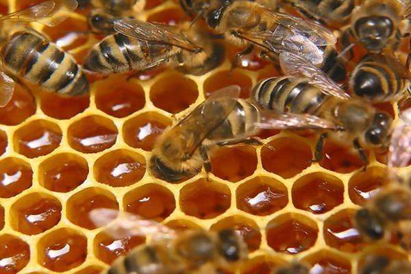 Як використовують овес і бджолиний підмор в народній медицині?