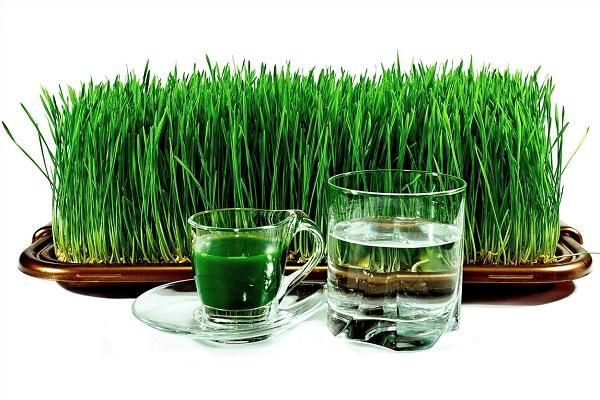 Як проростити пшеницю в домашніх умовах?