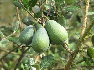 Калорійність фейхоа і способи приготування варення з тропічних фруктів