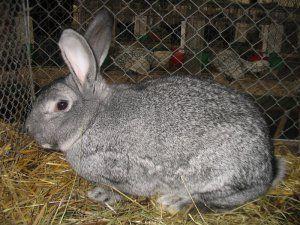 живий кролик