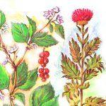 Лимонник, родіола рожева, левзея, стеркулія