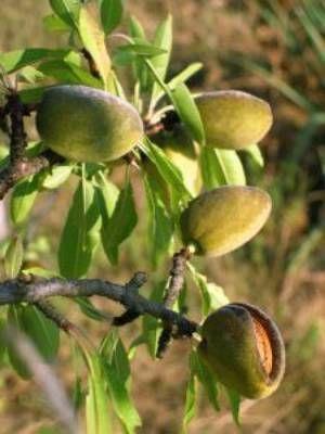 Зелені плоди мигдалевого дерева