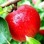 Одне яблуко в день сприяє значному омолодженню