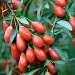 Панацея від ста недуг: корисні властивості ягід годжі