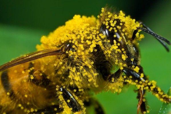 бджолиний пилок