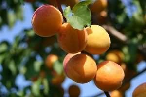 Корисні властивості абрикоса