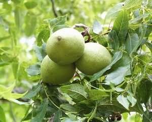 Корисні властивості листя волоського горіха