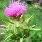 Розторопша? це лікарська рослина, яке використовується в народній медицини з давніх пір