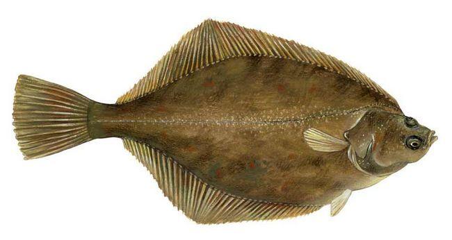 риба дорі