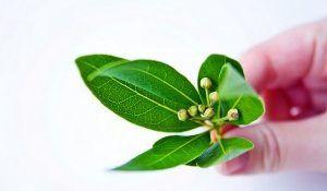 Скинь зайву «баласт»: лавровий лист для очищення організму
